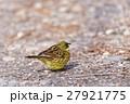 アオジ 小鳥 ホオジロ科の写真 27921775