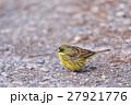 アオジ 小鳥 ホオジロ科の写真 27921776