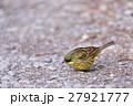 アオジ 小鳥 ホオジロ科の写真 27921777