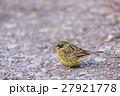アオジ 小鳥 ホオジロ科の写真 27921778