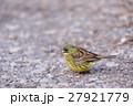 アオジ 小鳥 ホオジロ科の写真 27921779