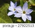 ハナニラ 花韮 花の写真 27922513