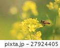 菜の花 ミツバチ 蜂の写真 27924405