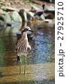 オーストラリアイシチドリ 鳥 チドリ目の写真 27925710