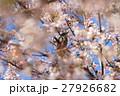 桜と鳥 27926682