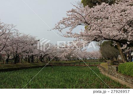 さくら 大村公園 27926957