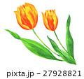 花 チューリップ 水彩のイラスト 27928821