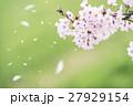 桜 桜吹雪 ソメイヨシノの写真 27929154