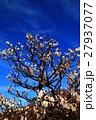 梅の花 27937077