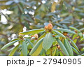 植物 しゃくなげ 石楠花の写真 27940905