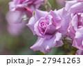 青薔薇の花 27941263