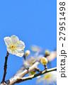 梅の花と青空(N) 27951498