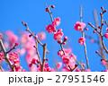 梅の花と青空(N) 27951546