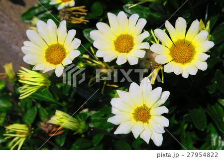 宿根ガザニア(ソフトクリーム)の花 27954822