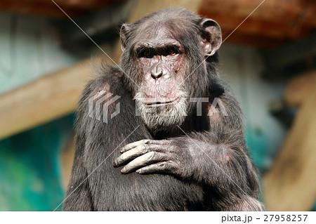 チンパンジーの顔 27958257