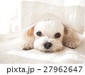 犬 動物 小型犬の写真 27962647