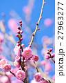 梅 花 紅梅の写真 27963277