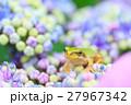 梅雨_アジサイと雨ガエル 27967342