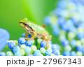 梅雨_アジサイと雨ガエル 27967343