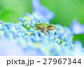 梅雨_アジサイと雨ガエル 27967344