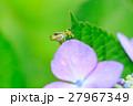 梅雨_アジサイと雨ガエル 27967349