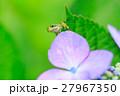 梅雨_アジサイと雨ガエル 27967350