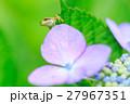 梅雨_アジサイと雨ガエル 27967351