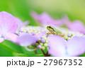 梅雨_アジサイと雨ガエル 27967352
