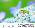 梅雨_アジサイと雨ガエル 27967353