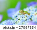 梅雨_アジサイと雨ガエル 27967354