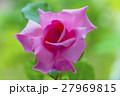ピンクのバラ はごろも 27969815