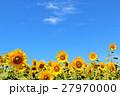 北海道 元気に咲くひまわりたち 27970000