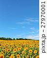 北海道 夏の青空と満開のひまわり畑 27970001