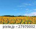 北海道 夏の青空と満開のひまわり畑 27970002