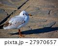 百合鷗 鳥 水鳥の写真 27970657