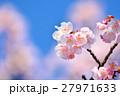 花 寒桜 青空の写真 27971633