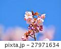花 寒桜 青空の写真 27971634