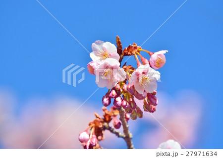 青空に咲く寒桜 27971634