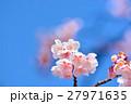 花 寒桜 青空の写真 27971635