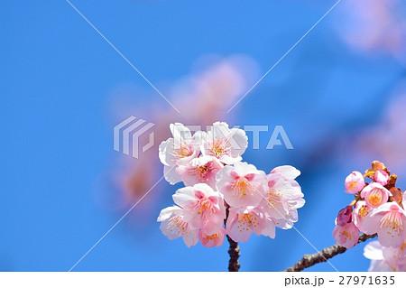 青空に咲く寒桜 27971635