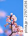 花 寒桜 青空の写真 27971636