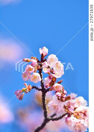 青空に咲く寒桜 27971636