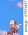 花 寒桜 青空の写真 27971637