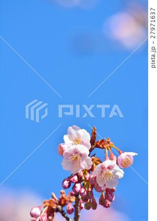 青空に咲く寒桜 27971637