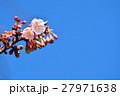 花 寒桜 青空の写真 27971638