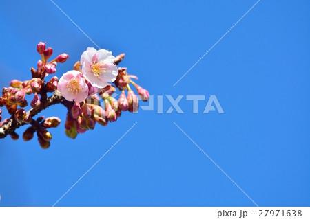 青空に咲く寒桜 27971638