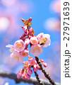 花 寒桜 青空の写真 27971639