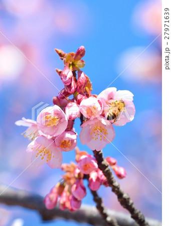 青空に咲く寒桜と蜜蜂 27971639