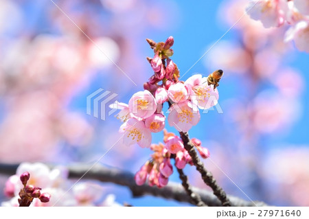 青空に咲く寒桜と蜜蜂 27971640
