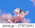 花 寒桜 青空の写真 27971641
